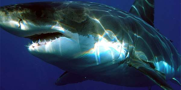 "<span class=""source"">Foto: <a href=""https://commons.wikimedia.org/wiki/File:Carcharodon_carcharias.jpg"">Sharkdiver.com</a>, Public domain</span>"