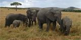 Evoluce v přímém přenosu: Afričtí sloni v důsledku intenzivního lovu ztrácejí své kly